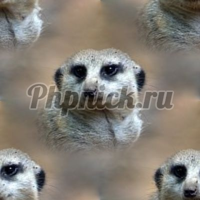 meerkat_background
